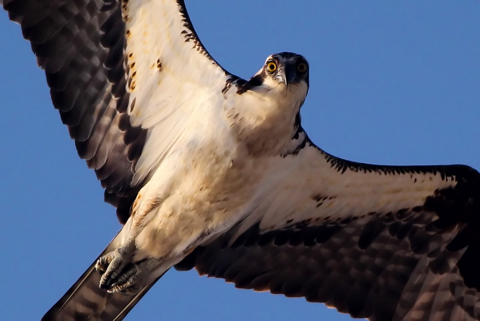 Osprey eyes me on his way home empty handed this morning