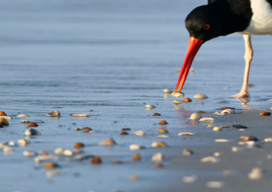 ... she left an environment in which the magnificent Oystercatcher thrive.