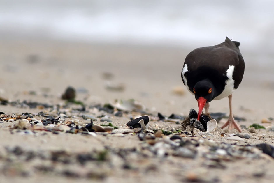 by Oystercatcher