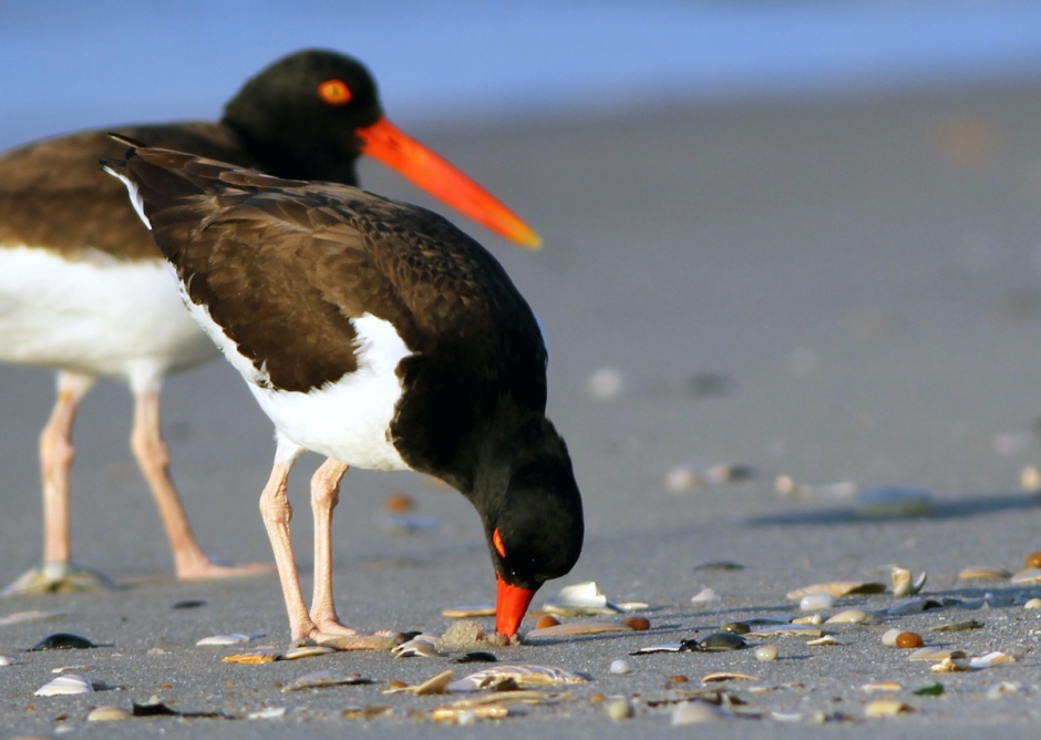 A little birdy told me that  while Hurricane Sandy as wreaked havoc on the ecology of many shorebird species...