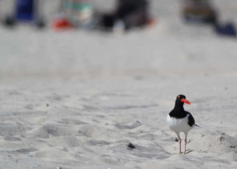 """Who me?"" Oystercatcher: out there. Lovin' it."