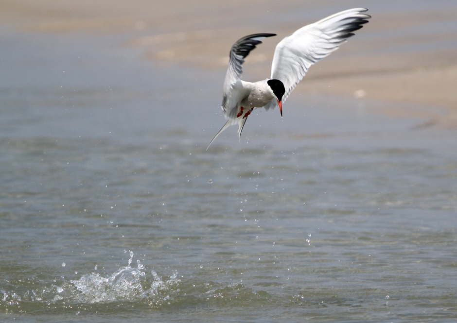 Bonus shot: Tern does Osprey yesterday afternoon