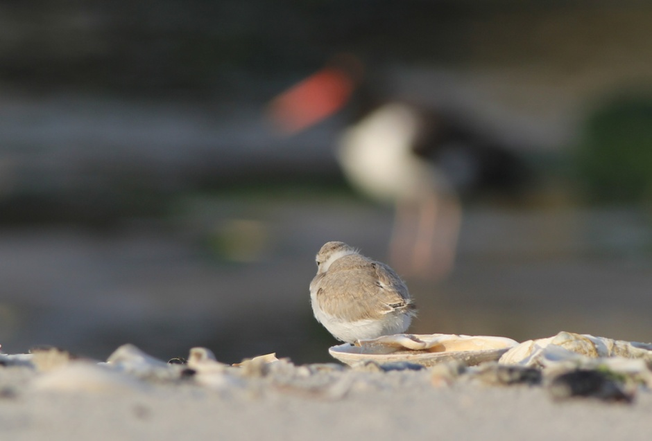 "Todd, our Beach Nesting Hero, tells us we can consider them ""statistically"" fledged"