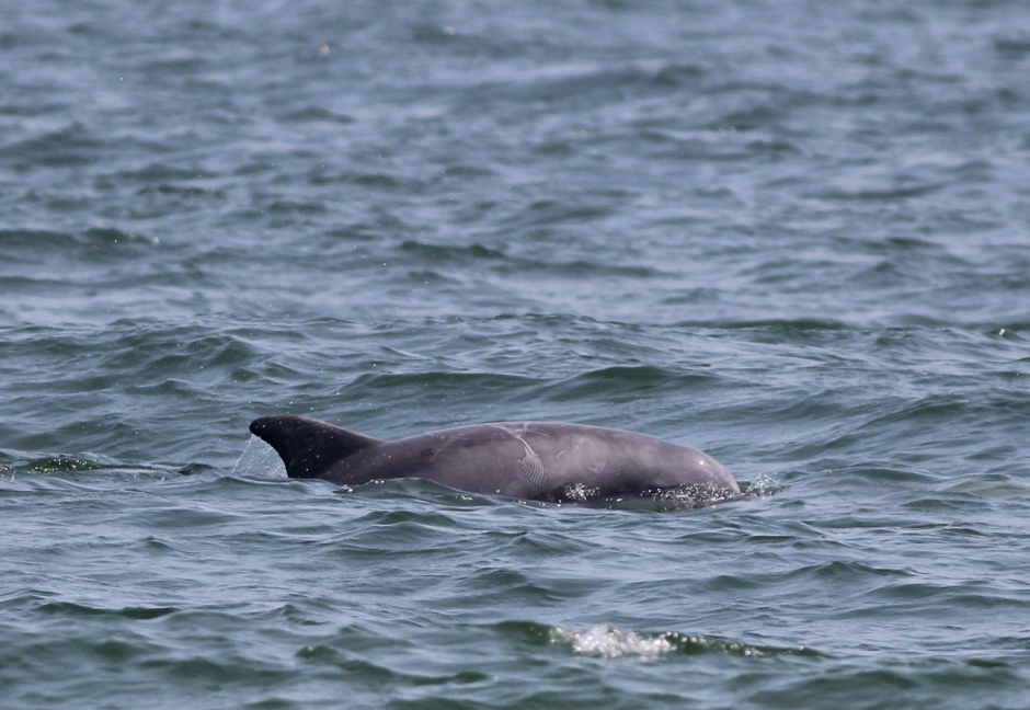As the water warms and Summer finally gets under way, our Dolphin are returning