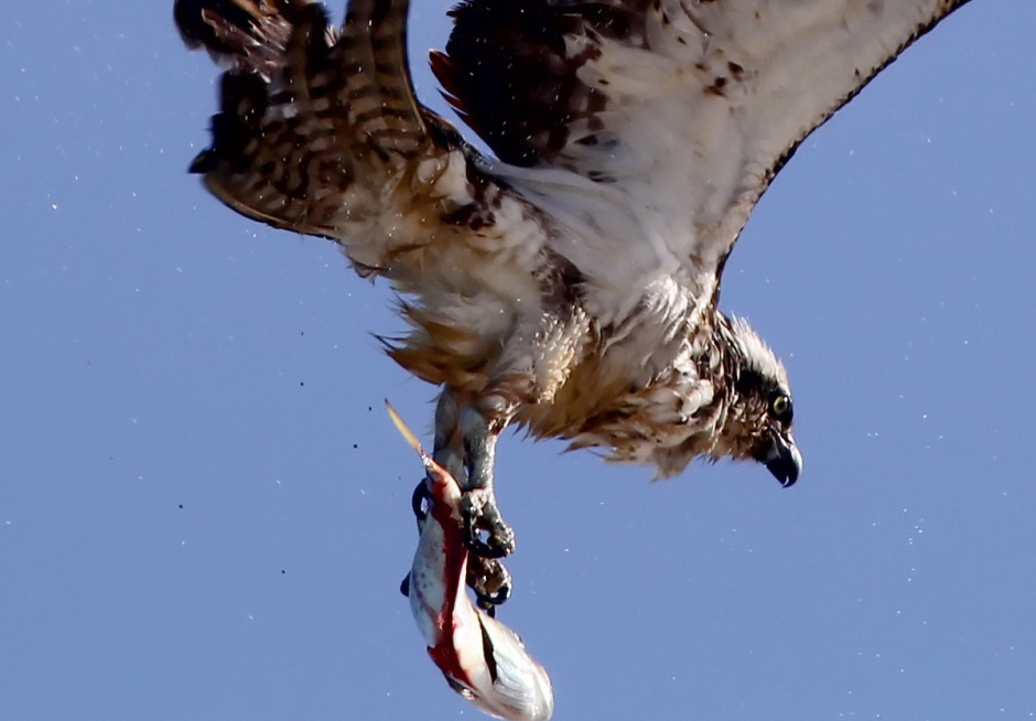 Bonus: The Osprey Shake, caught from below. I think he actually shook a little fish bloodz on my lens. Cool!