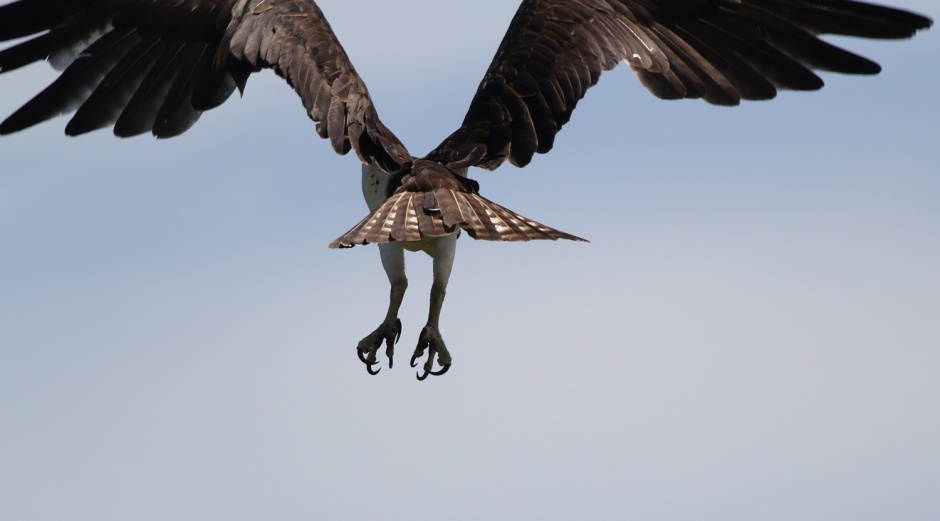 And I'd never miss the chance to come face to face with my Camera's Nemesis: The Mighty Osprey