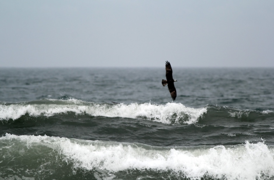 Ospreys & Surf