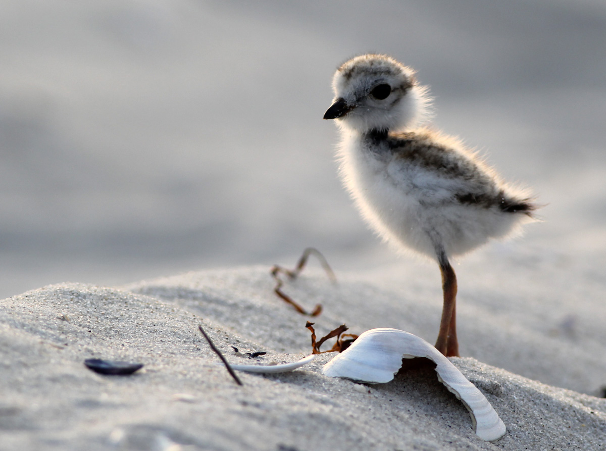 Baby piping plover - photo#4