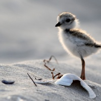 Overdoing It With The Piping Plover: Baby Backlit Beauties