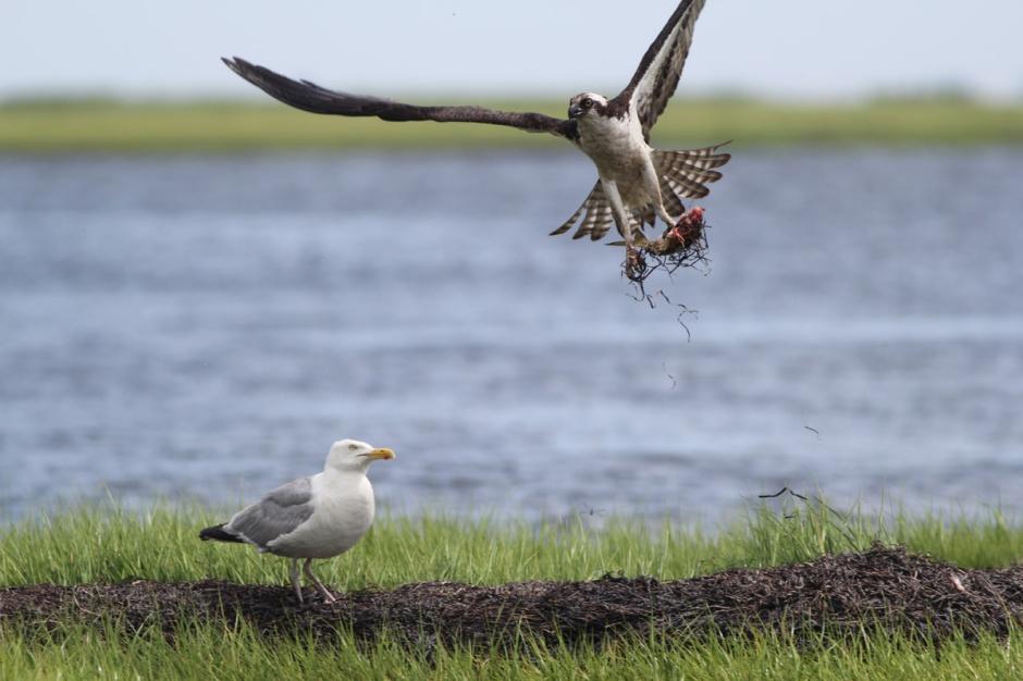 "Osprey: ""Later Gull, gotta' dive bomb Osprey Hero."" Gull: ""You gonna eat that?"""