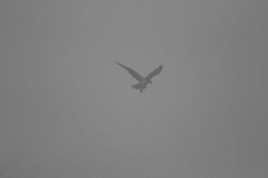 Classic Readings From The Northside morning Osprey Shot. Now with more fog and less visibility!