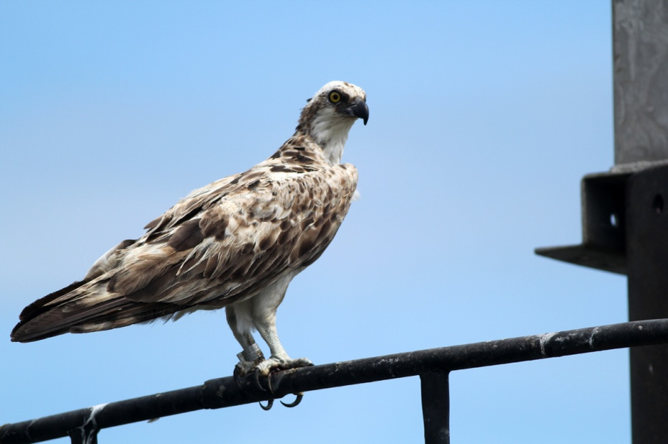 That's no gull, that's a very special Osprey. Very special indeed.