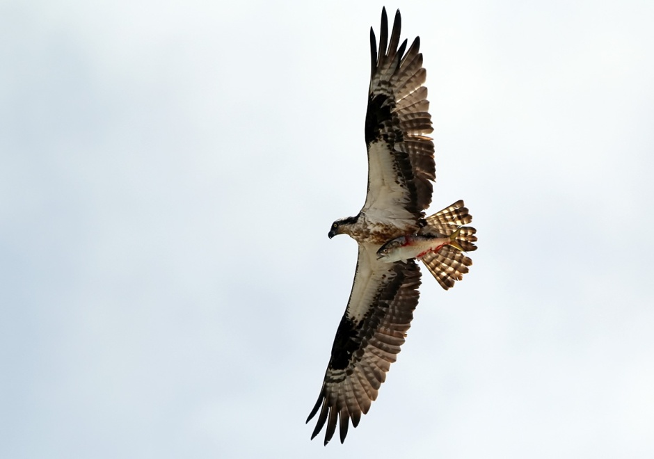 Osprey catchin' fish again. Merst be sermer!