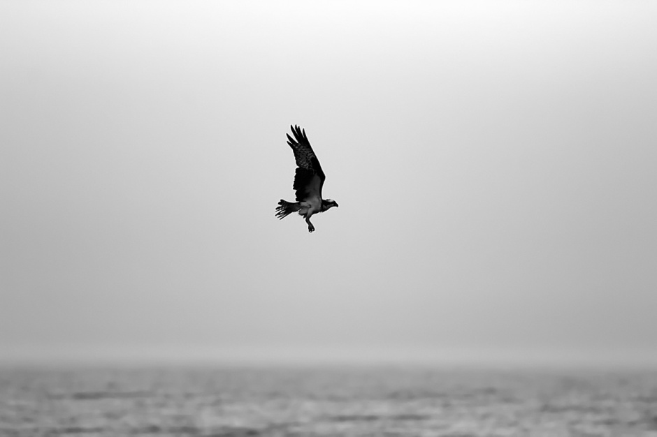 No joke: this Osprey flashed right in the frame while shooting the Dolphin. A little jealous after all the attention you got yesterday Osprey?