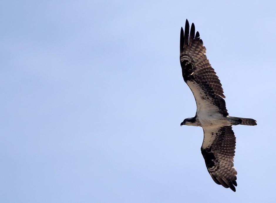 Angelic Osprey III