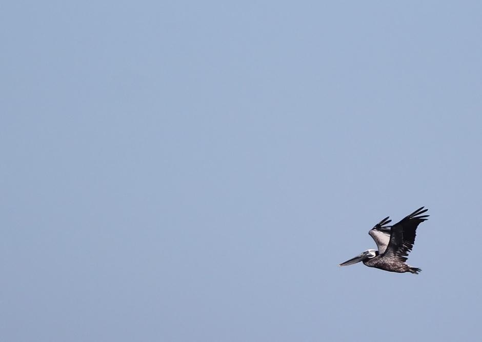 Pelican: Arriving.