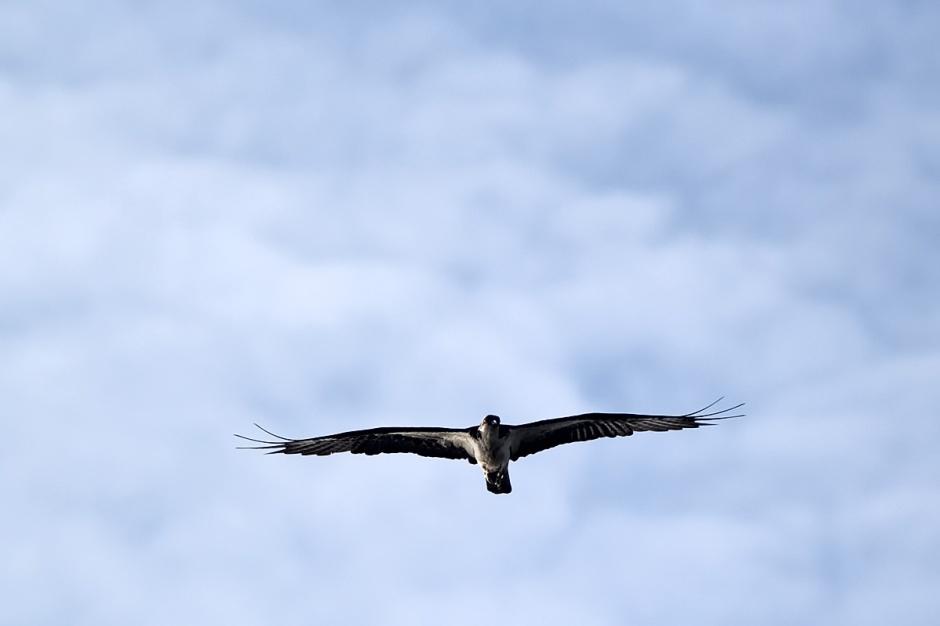 Angelic Osprey II