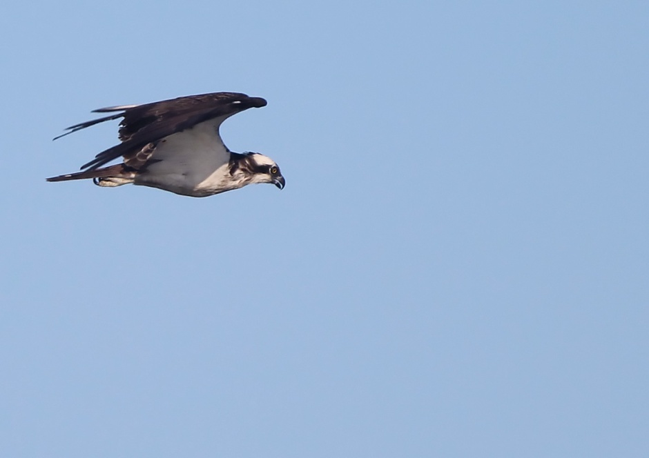 Osprey? Thriving.