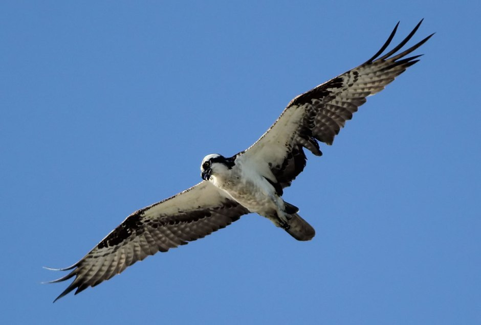 The Osprey came home empty taloned