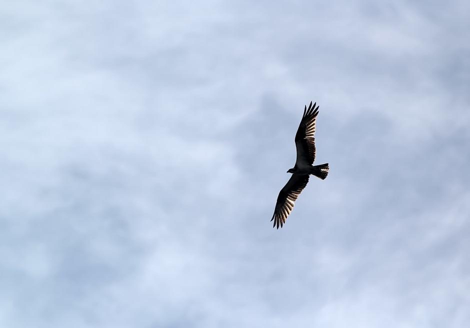 Angelic Osprey
