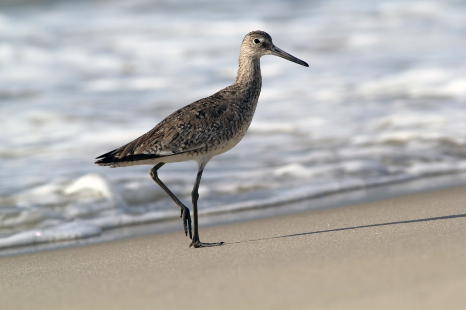 Look who decided to join us on the beach this morning. A Handsome & Gracious Willet.