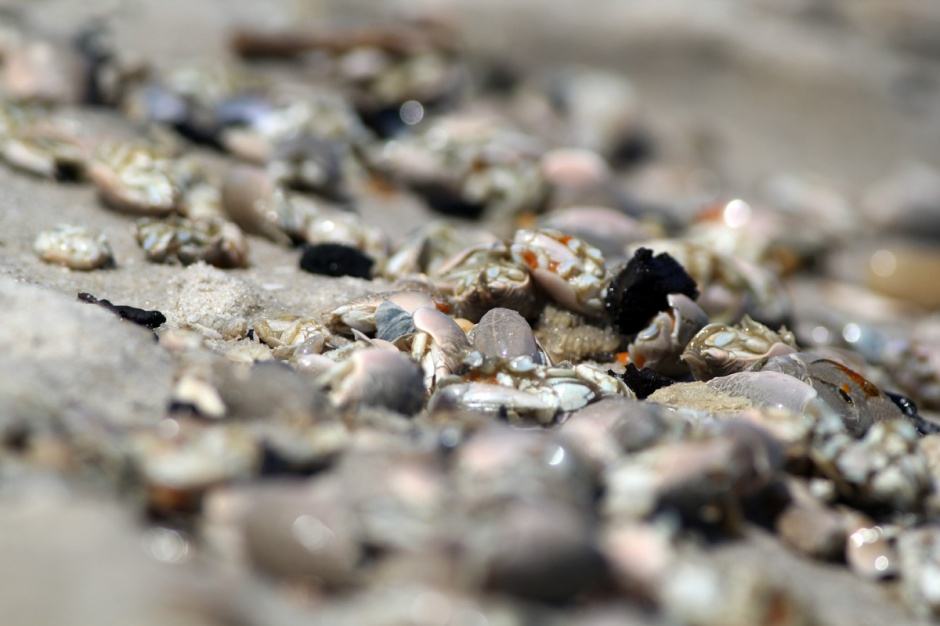 Sadly, it is a MOLE CRAB MASSACRE. These precious little carcasses number in the millions.