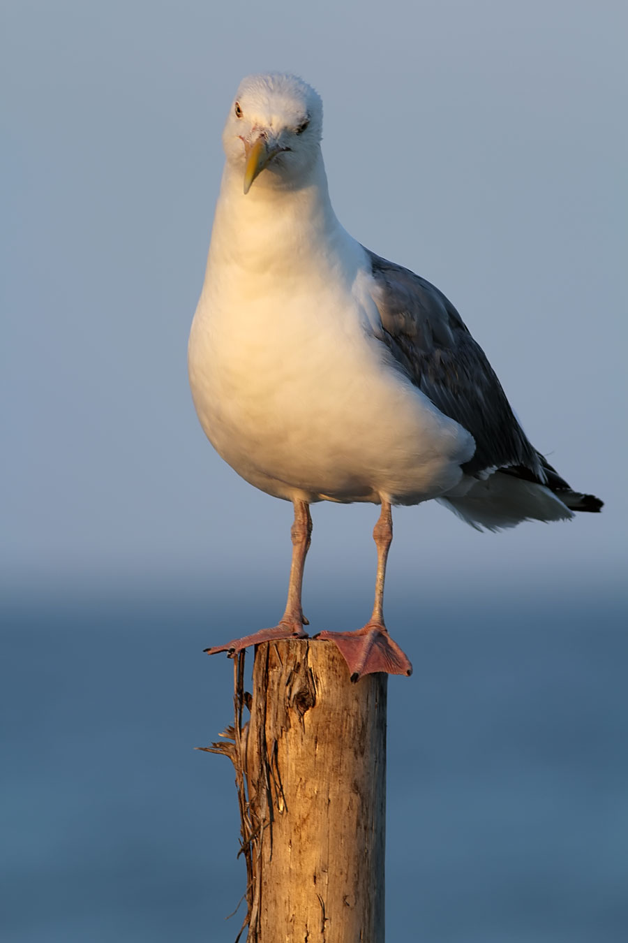 "Mac Daddy. North Beach's oldest & most experienced Herring Gull poses, and says ""Thank You"""