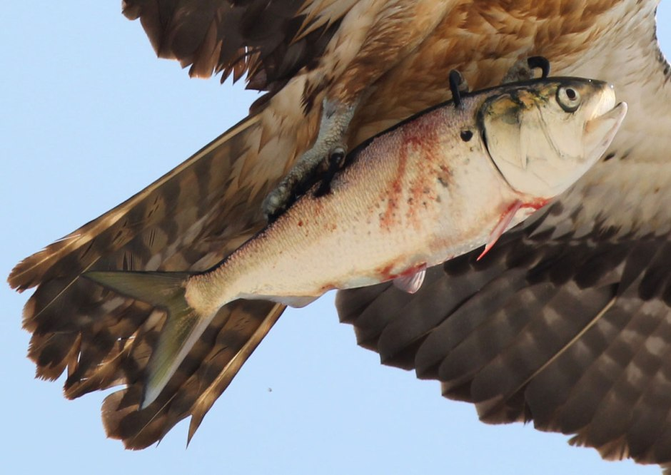 Tyrion the Osprey scores the catch of the day. He could barely lift that fish, which is why we get such a good look.