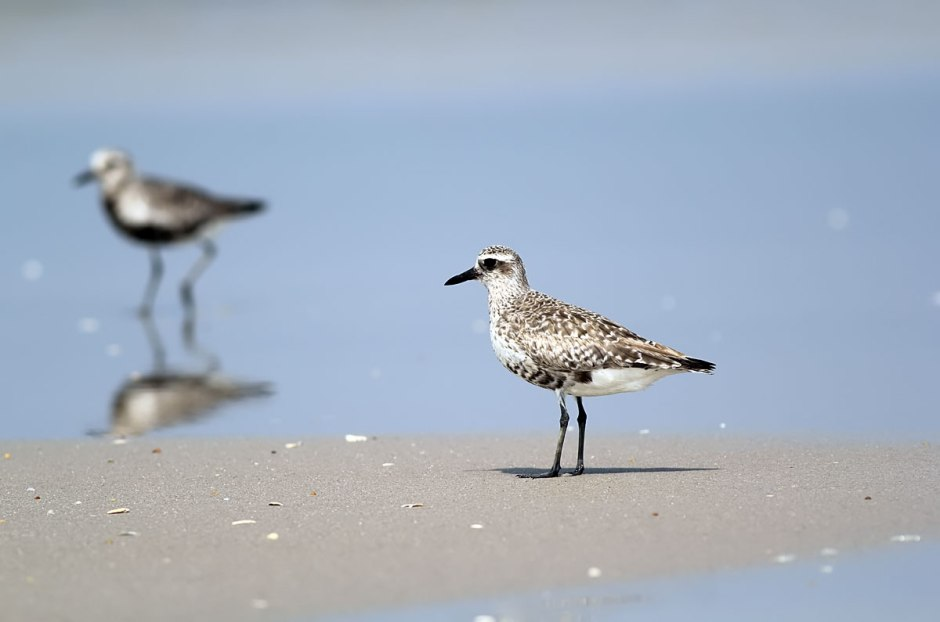These birds are wicked shy, and they love the big flats of a nice low tide. From a distance, they are easy to confuse with young Laughing Gulls.