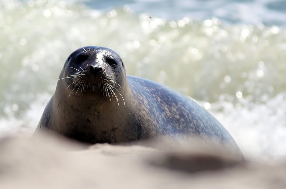 North Beach got a real treat this morning when a seal named Om Nom decided to frolick in our surf and sun on our beaches.