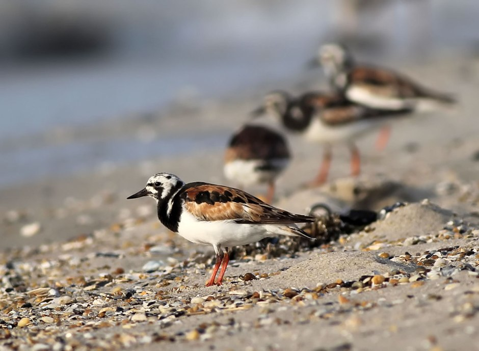 Ruddy Buddies. Rudy Turnstone wait for their spot on the Jetty