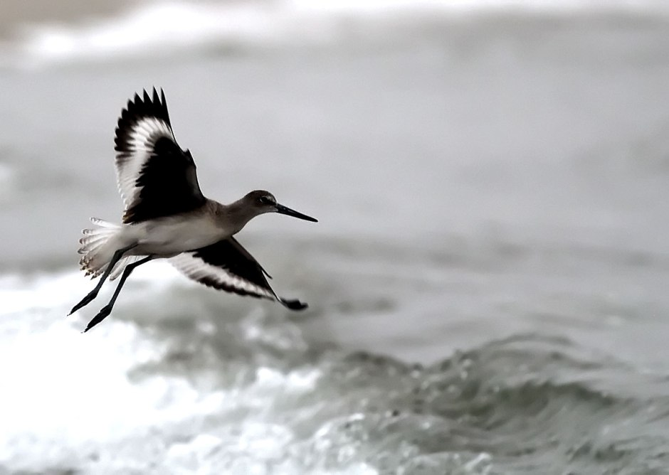 Willet Returns with its unmistakable flight pattern