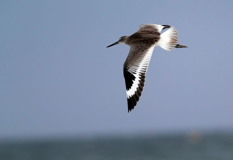 "Longtime Reader ""LouisLargerbear"" commented about the beautiful pleated pattern of the Willet's Wings"