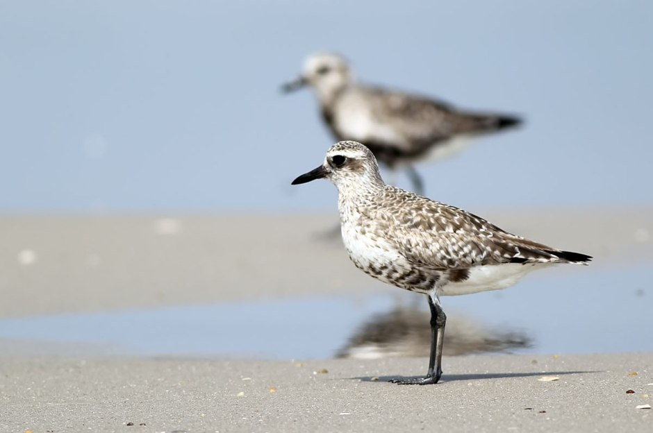 Double Your Plover
