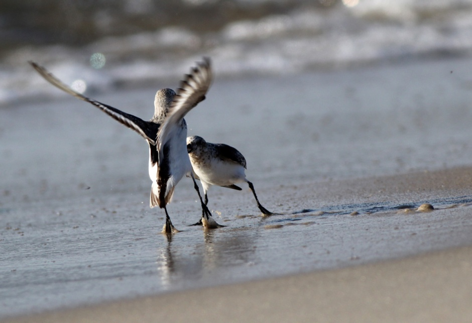 Just like many flocks of humanz, the Sanderlings are all smiles and hugs when they first arrive here in mid july.