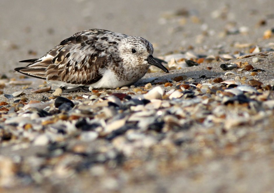 Angry 'Lil Sanderling, Step 1: Hold Your Ground