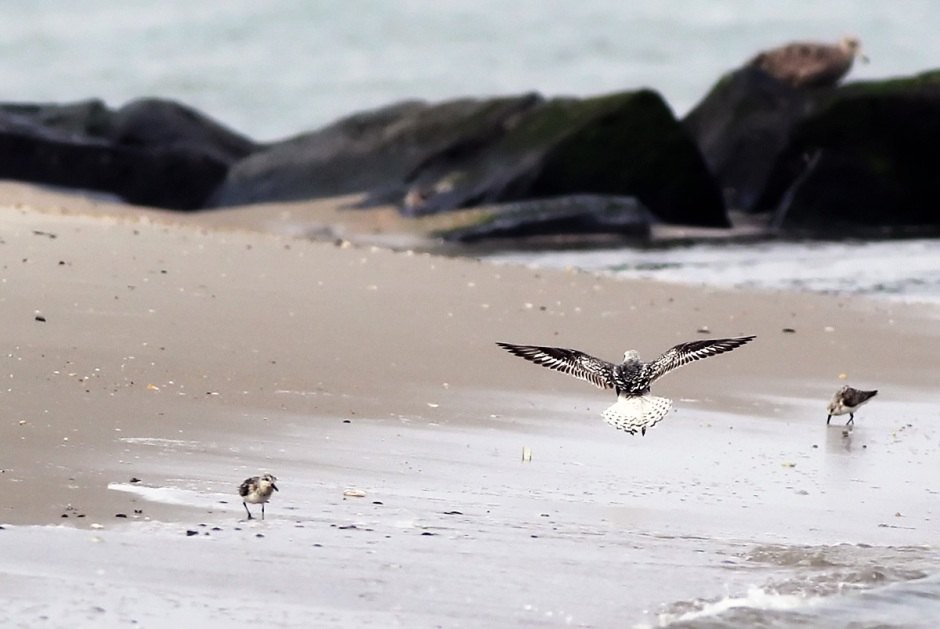 Super rare treat! The super shy Black Bellied Plover come out when the people go in.