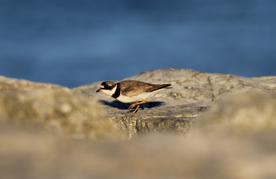 The Semi Palmated Stalking Plover