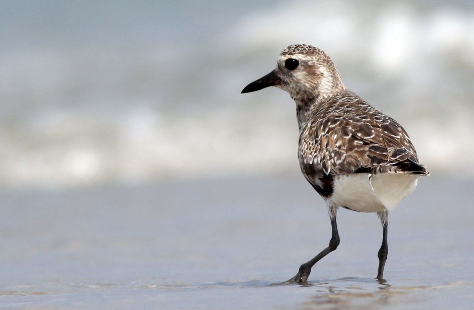 A healthy number of Juvenile Black Bellied Plover (street name: Grey Plover) are stopping by LBI these days on their way to God-knows-where from their breeding grounds in the Artic