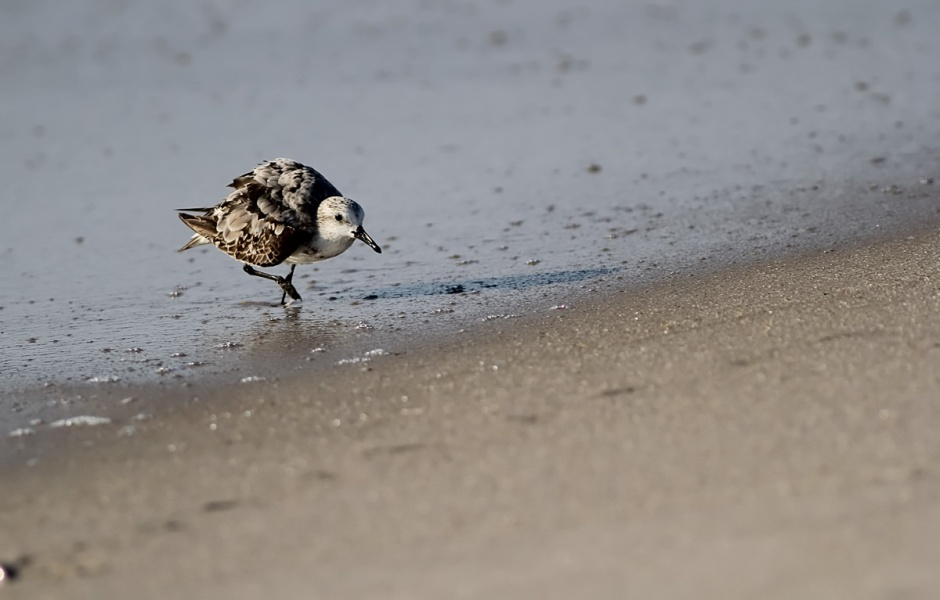 Angry Little Sanderlings