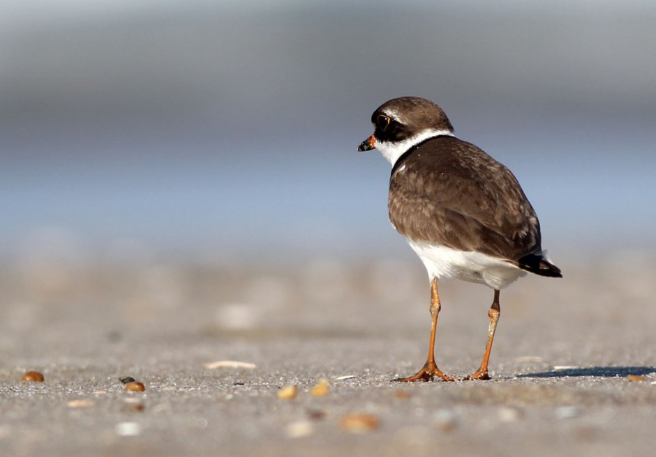 Bonus Shot: This is Oswald, a loner semi-palmated plover who has been hanging around the camera all week.