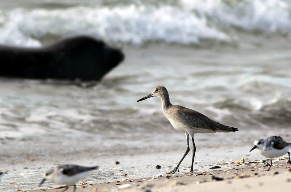 Bonus, Combo Meal Shot! Willet + Seal = Awesome.