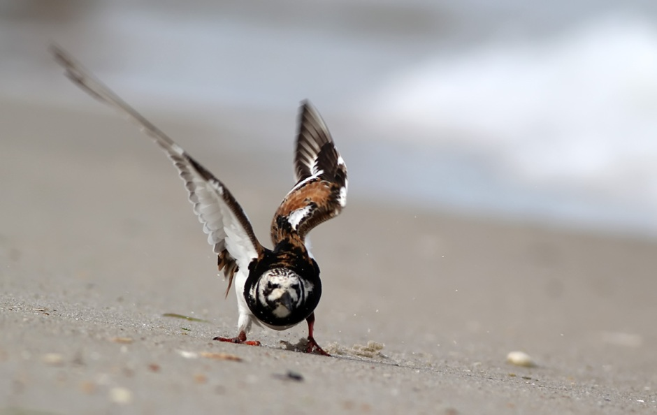 But the Ruddy Turnstone is not to be messed with. Ruddy Buddies have arrived in big numbers.