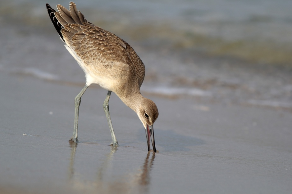Another rare treat: abundant bayside, Willet are not common oceanside.