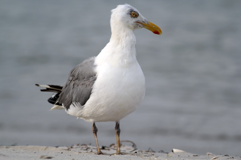 Not Mac Daddy, but one of the Handsomest Herring Gulls you'll ever see