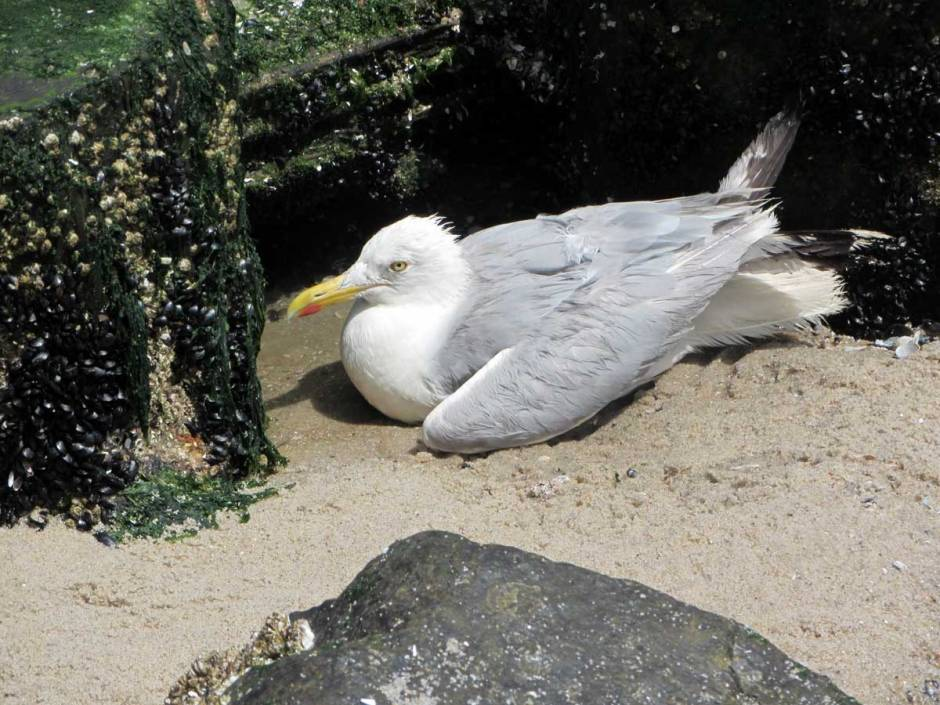 Poor Kitty. As the tide came in it was becoming clear this sweet gull might drown right there.