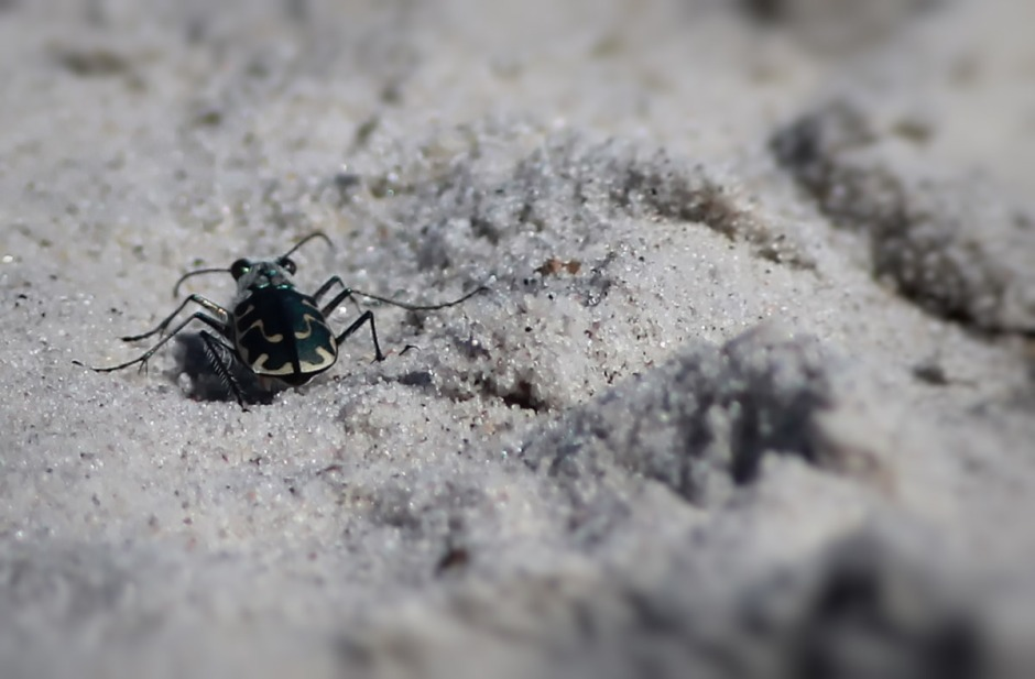 I don't know much about the Amazing Sand Tiger Beetle, but I do know that people dressed in safari gear are always looking for them and telling me I'd never be able to shoot one with my big lens