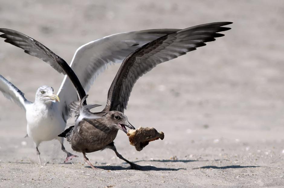 I kan haz chickenz? Even though i iz beach chickenz???!!!??!11!