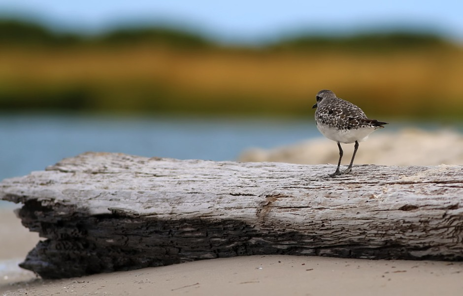 So I'm hanging around trying to get some pictures of this Black Bellied Plover