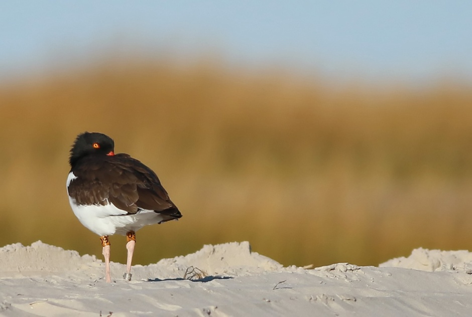Speaking of Oystercatcher, looks like we found O9.